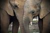 l'Homme est le plus cruel de tous les animaux (B N C T O N Y) Tags: lhomme est le plus cruel de tous les animaux elephant voie exctinction disparition savane afrique zoo beauval pachiderme
