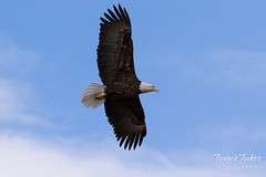 Female Bald Eagle stretches her wings - 14 of 30