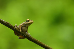 Boophis blommersae (the-moof) Tags: madagascar herpetology herps herpetofauna amphibian frog frogs mantellidae