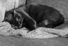 A Cat's Life 27 (atmyller) Tags: cat animal monochrome blackandwhite nikond40