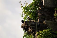 European Starling (David.Sankey) Tags: birding birds birdingnyc rooseveltisland eastriver newyorkcity newyork nycbirding queens starlings starling