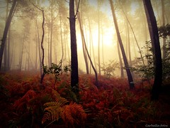 _Last lights (Guillermo Carballa) Tags: light forest woods fog mist trees pines ferns colors red carballa olympus e1