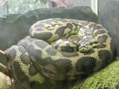 Jardin des Plantes: Ménagerie: python: Morelia spilota variegata (John Steedman) Tags: jardindesplantes フランス france frankreich frankrijk francia parigi parijs 法国 パリ 巴黎 ménagerie python moreliaspilotavariegata snake