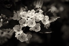 Hawthorn blossoms (jmschrei) Tags: alberta bw bokeh branch buds calgary da1685 hawthornblossoms leaves monochrome nature pentaxkp