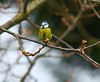 Woodland Nature... (Adam Swaine) Tags: bluetit tits wildlife britishbirds englishbirds gardenbirds rspb nature naturelovers britain spring trees uk england english british canon peckhamryepark londonparks
