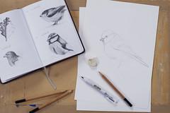 (Girl With Butterfly Wings) Tags: workinprogress drawing sketch sketching pencil pencils bird bluetit gardenbird british eurasianbluetit