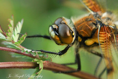 4 spotted chaser (jo.angell) Tags: dragonfly wild buckinghamshire meadow nature wildlife macro