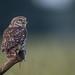 R18_2886  Sec 1/200 F 5.6 ISO 800   700MM FF (ronald groenendijk) Tags: cronaldgroenendijk 2018 athenenoctua littleowl rgflickrrg animal bird birds copyrightronaldgroenendijk europe groenendijk holland nature natuur natuurfotografie netherlands outdoor owl ronaldgroenendijk steenuil uil vogel vogels wildlife