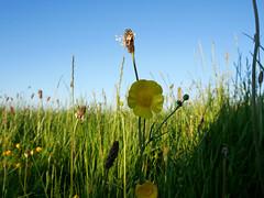 buttercup (auroradawn61) Tags: dorset uk england sunday may 2018 bankholidayweekend countryside lumixgx80 wingreenhill buttercup grasses flowers