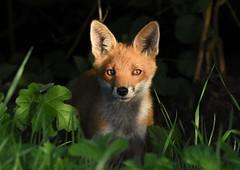 Fox cub (wild) (George Findlay) Tags: fox cub nikon sigma ayrshire