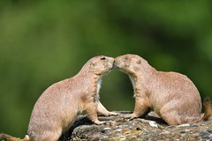Puppy love (Paul Wrights Reserved) Tags: prairiedog prairiedogs love bokeh kiss kissing close cute puppylove