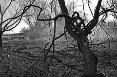 Eternal struggle (Bo Dudas) Tags: tree vine bw blackwhite black field smoke haze fog contrast abstract grass prairie