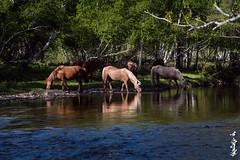 Sognogor river... (N.Batkhurel) Tags: season summer river animals horse mongolia tuv winter trees forest ngc nikon nikondf 24120mm
