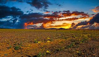 Death Valley Sunset Bloom
