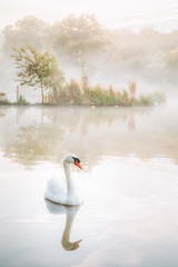 Swan Lake (Vemsteroo) Tags: lake water swan swans signet bird ornithology sunrise dawn morning beautiful nature delicate soft glow river trees reflection fog ethereal atmospheric canon 5d mkiii 2470mm duck wildfowl beautyinnature northamptonshire corby boating