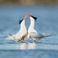 Courting Terns (just4memike) Tags: beach bird blurredbackground color elegant eye feather tern water wave white wildlife wing