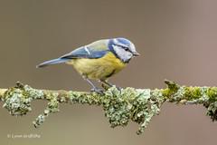 Blue Tit D85_2362.jpg (Mobile Lynn) Tags: nature birds tits bluetit bird fauna oscines passeri passeriformes songbird songbirds wildlife coth specanimal coth5 ngc npc