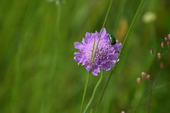 La Cétoine dorée (Croc'odile67) Tags: nikon d3300 sigma contemporary 18200dcoshsmc fleurs flowers insecte nature prairie