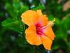 (daystar297) Tags: flower flowers orange color colors nature flora green outdoors bush hedge nikon florida fortpierce hibiscus