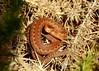 Adder (Vipera berus) (Nick Dobbs) Tags: adder vipera berus immature viper venomous venom reptile heath heathland snake dorset coiled basking neonate