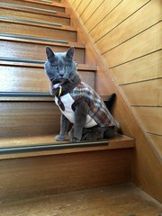 Argent on the Stairs (sjrankin) Tags: 21april2018 edited animal cat argent stairs stairway yubari hokkaido japan tunic