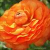 Layers of Orange (socalgal_64) Tags: orange blossom bloom petals stem carolynlandi pennsylvania usa nature outdoors natural gardens erwinnapa buckscounty texture layers tinicumpa sandcastlewinery ngc coth coth5