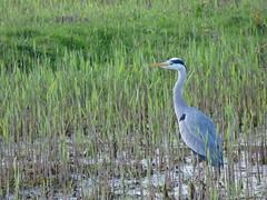 Heron (LouisaHocking) Tags: heron nature bird wild wildlife british cardiff forest farm