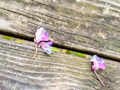 (takashi ogino) Tags: pentax q7 justpentax digital color wisteria 01stabdardprime flower nature plant purple