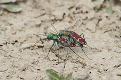 Splendid & Common Claybank Tiger Beetles (Lepphotos) Tags: nebraska shermancounty na7308a