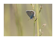 Les petites betes de l'aqueduc-1566125A1566 (helenea-78) Tags: macro nature papillons insectes
