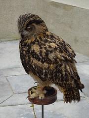 DSC07617 (guyfogwill) Tags: 2018 birds brandonsbirthday devon eurasianeagleowl gbr guyfogwill may owls paignton unitedkingdom paigntontorquay