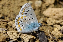 Blue Butterfly, Switzerland (sdaengeli) Tags: eos5dmarkiv canon macro blue bleu nature papillon butterfly ybs2018 allnatural macromondays