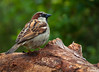 Moineau domestique mâle (nicolaspetitfrere) Tags: moineaudomestique photographie photography plume oiseau oiseaux birds bird jardin garden voler nature branche wild