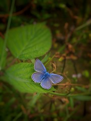 Blue in Green (ilfotografodellapausapranzo1) Tags: butterfly farfalle green leaf foglie fogliesecche blu blue natura fantasticnature naturalistic fotonaturalistica foto photo photography