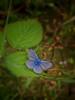 Blue in Green (ilfotografodellapausapranzo1) Tags: butterfly farfalle green leaf foglie fogliesecche blu blue natura fantasticnature naturalistic fotonaturalistica foto photo photography