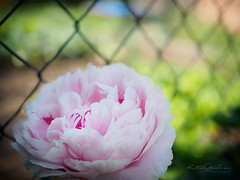 """The grass is always greener on the other side of the fence"" (Karsten Gieselmann) Tags: 25mmf18 blumen blüten bokeh dof em5markii farbe frühling grün jahreszeiten mzuiko microfourthirds natur olympus pfingstrose pflanzen rosa schärfentiefe zaun blossom color fence flower green kgiesel m43 mft nature peony pink seasons spring"