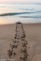 Olive Ridley Turtle (asheshr) Tags: arribada gokurkuda lepidochelysolivacea beach d7200 incredibleindia india nature nikkon nikkond7200 nikkor odisha oliveridley orissa rushikulya sunrise turtle turtles wildanimal wildlife pattern sea sand seascape