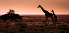 Love to the horizon (Beppe Rijs) Tags: wildtiere natur namibia afrika africa desert wüste landscape landschaft rock fels berge mountain color farbe abstrakt abstract blue blau yellow gelb gras grass nationalpark nature np namib animal couple giraffe silhouette tier himmel steppe sonnenuntergang