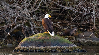 Bald Eagle and River Otter