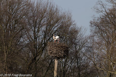 """""""We too are at home again at our nest"""" (Fred / Canon 70D) Tags: thenetherlands twello stork ooievaar oooievaarsnest sigma18300mmf3563dcmacrooshsmc sigma canon70d canoneos canon birds animals"""