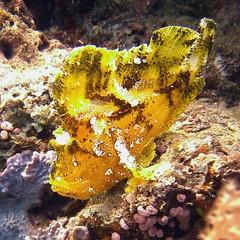 Leaf scorpionfish, Mafia islands, Tanzania (jd1001) Tags: mafiaisland tanzania march 2018 sealifecamera dc1400