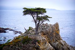 Lone Sentinel of Time (World-viewer) Tags: brick arboreal nice ocean ilce6000 a6000 sony artistic landscape vista art tree pacific sea tourism tour usa california monterey pebblebeach ghosttree ngc travel