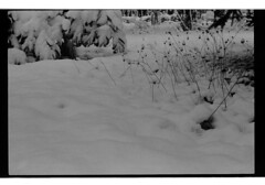 P60-2018-026 (lianefinch) Tags: argentique argentic analogique monochrome blackandwhite blackwhite bw noirblanc noiretblanc nb nature analog jardin garden hiver winter snow neige frozen gelé minimalism minimalisme