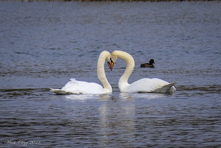 Swan 04/18