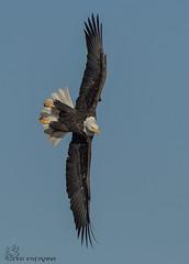 Bald Eagle on the hunt. (Estrada77) Tags: raptors birdsofprey distinguishedraptors birds birding wildlife nikond500200500mm ld14 inflight jan2018 mississippiriver fishing