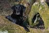 Buddy (Flemming Andersen) Tags: labrador dog black outdoor buddy nature animal hurupthy northdenmarkregion denmark dk