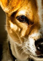 6M7A1743 (hallbæck) Tags: chien hund cane kæledyr dansksvenskgårdhund danishswedishfarmdog rottehund april2018 hørsholm denmark danmark canoneos5dmarkiii canonef85mm112liiusm cani perros hundar koirat perro anjing