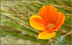 Poppies Need Rain (tdlucas5000) Tags: poppies poppy flower wildflowers wildflower californiapoppy grass bokeh d850 sigma105 california spring