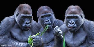 Die drei Gorillas