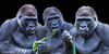 Die drei Gorillas (Klaus Kehrls) Tags: tiere gorillas portrait allwetterzoomünster zoomünster collage porträt tier coth5
